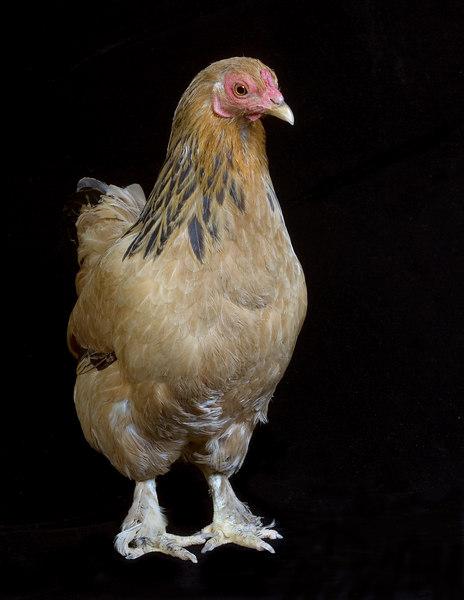 Chicken20069-8x10