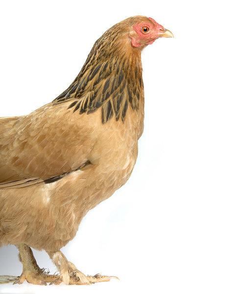 Chicken19776-8x10