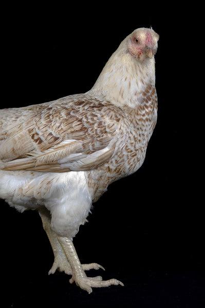 Chicken19990-8x12