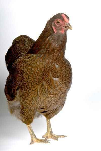 Chicken19944-8x12