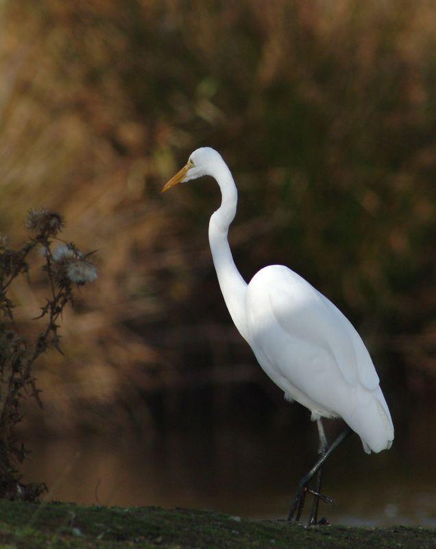 egret-538