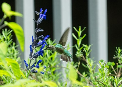 Hummingbird081720
