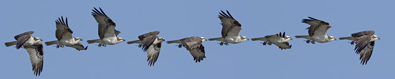 Composite of nine frames, two seconds in the flight of a twig carrying Osprey.