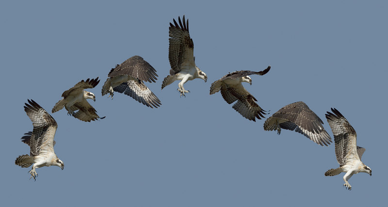 Composite photo showing a 1-1/6 second in the first flight of an Osprey chick. (seven consecutive frames shot at six frames per second).