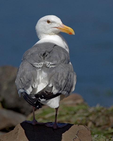 W-Gull23565-8x10