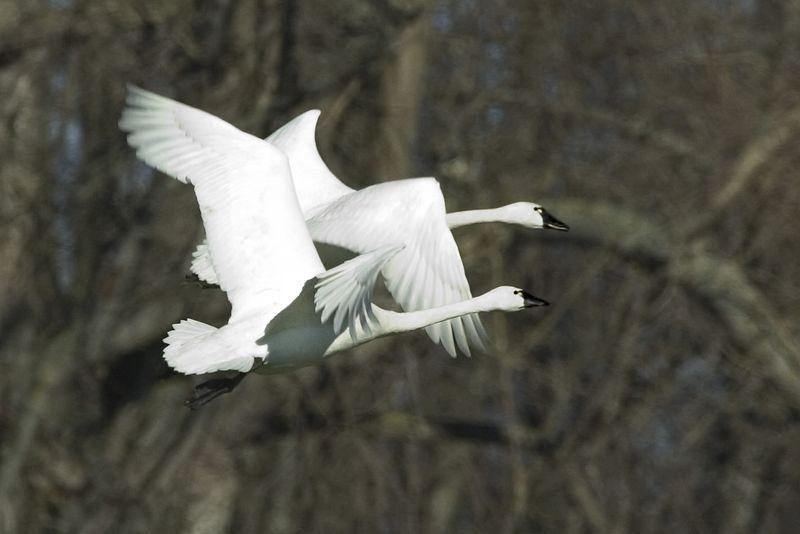 Swan3687-8x12