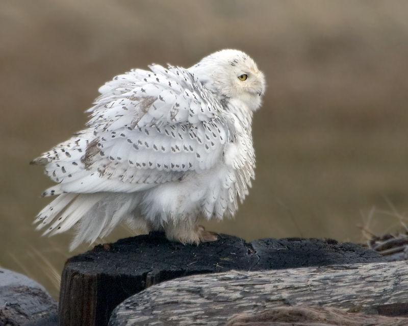 SnowOwl13006-8x10