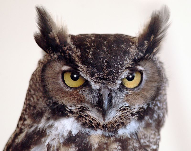 owl-2504-11x14