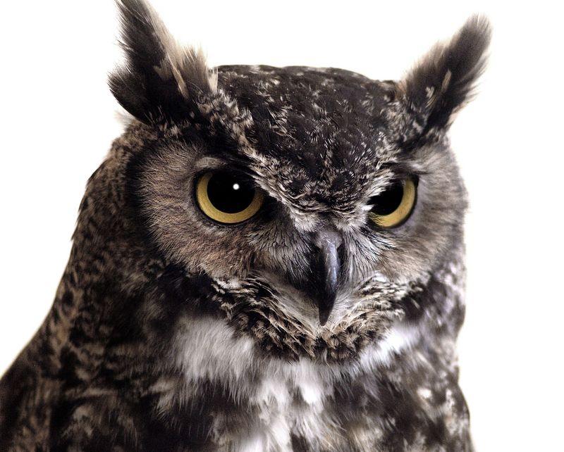owl2631-16x20