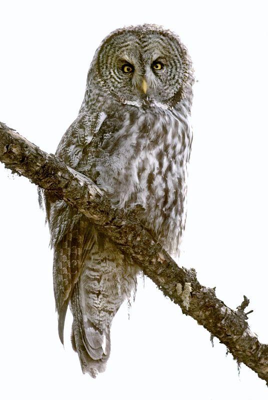 Owl10927-8x12b