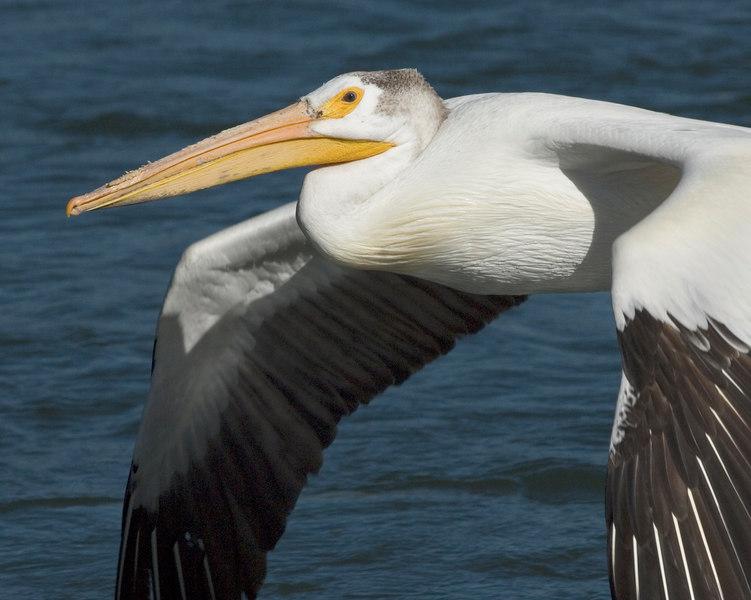 Pelican20417-8x10