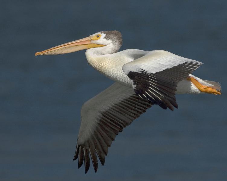 Pelican20224-8x10