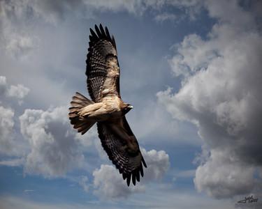 Hawk in Clouds