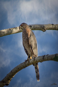 Cooper's Hawk Perched