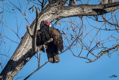 Roosting Turkey Vulture