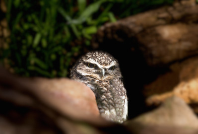 Burrowing Owl in Log_-2