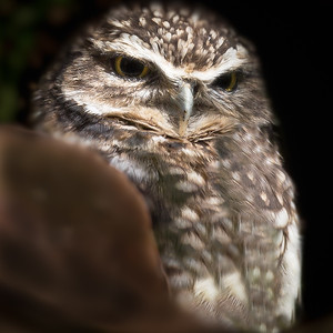 Burrowing Owl in Log_