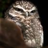 Burrowing Owl in Log_