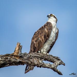 Bolsa Chica Osprey in Tree