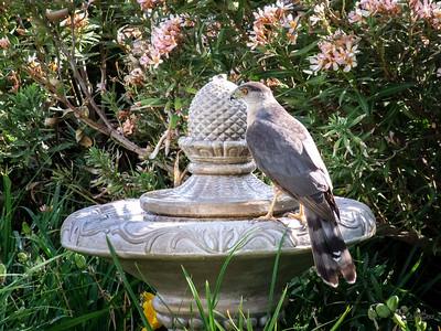 Cooper's Hawk at Birdbath