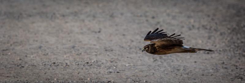 Hawk in Flight 25x8 5