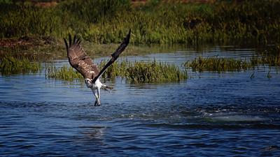 Osprey in Flight from Water