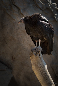 California Condor Perched