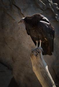 California Condor Perched
