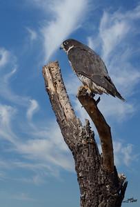 Hawk Perched 2
