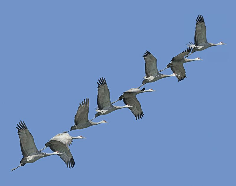 "Published 2004: poster entitled ""Sandhill Crane ascending""."