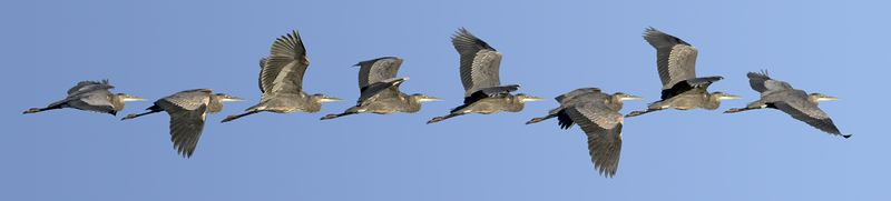 """Published 2004: poster entitled """"One second in the flight of a Great Blue Heron""""."""