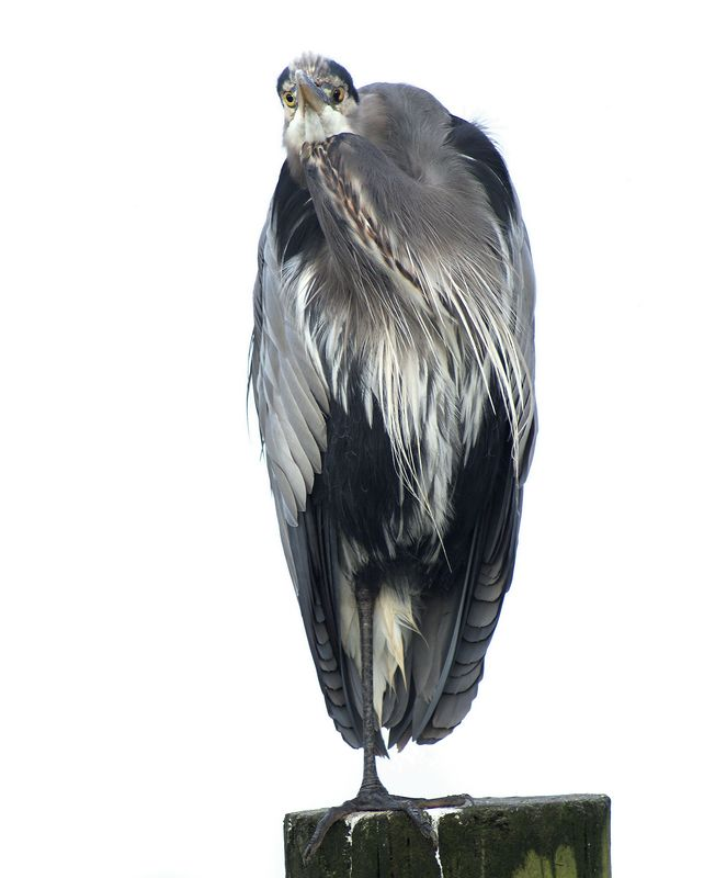 "Nominee in category  Professional/Nature Photography, 2004  ""Spider Awards"". <br /> Published 2004: poster entitled ""Herons Rule""."