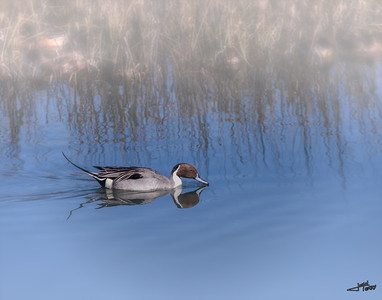 Pintail in fog