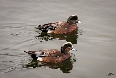 Pair of Ruddy Ducks