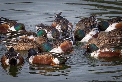 Northern Shovelers Feeding