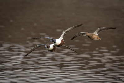 Shovelers in Flight-2