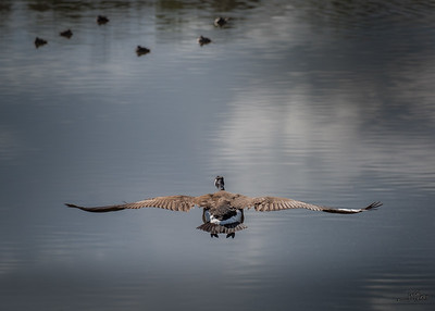 Goose Flyby