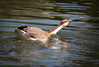 Swan Goose 2