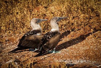 Blue-Footed Booby Matting Pair