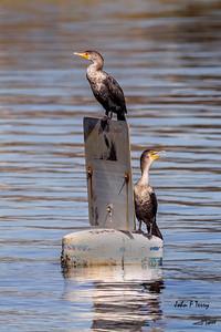 Cormorant Sentinels