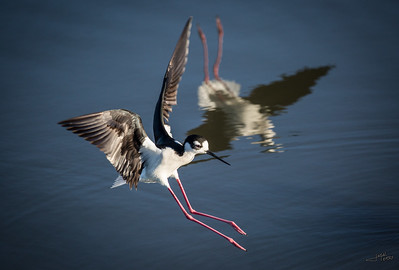Black Necked Stilt Landing