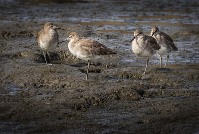 Shorebirds in the Mud