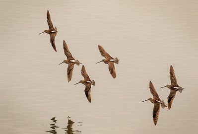 Dowitchers Circiling