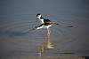 Black Neck Stilt Matting Pair