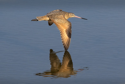 Marbled Godwit in Flight