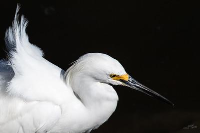 Snowy Egret Portrait