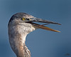 Great Blue Heron Portrait