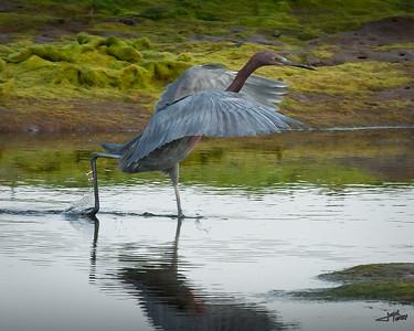 Reddish Egret Running