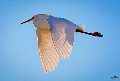 Backlit Snowy Egret