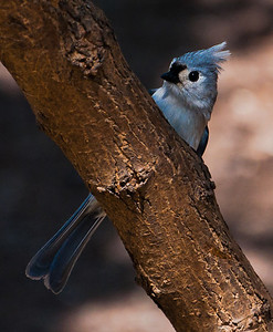 Tufted Titmouse perched on a small tree
